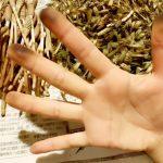 つくしの袴とりにこの手袋!(笑) フィット感抜群のゴム手袋